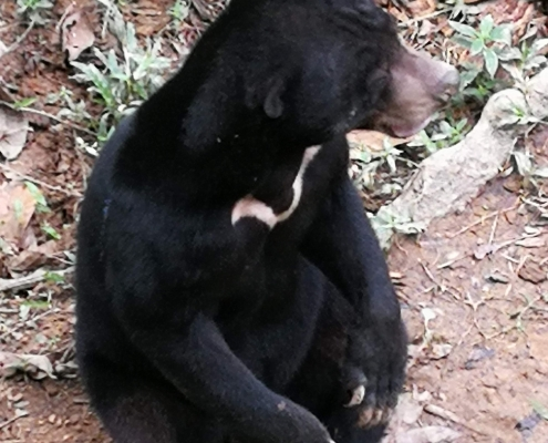 Bornean Sun Bear Conservation Centre - Travellers of Malaysia
